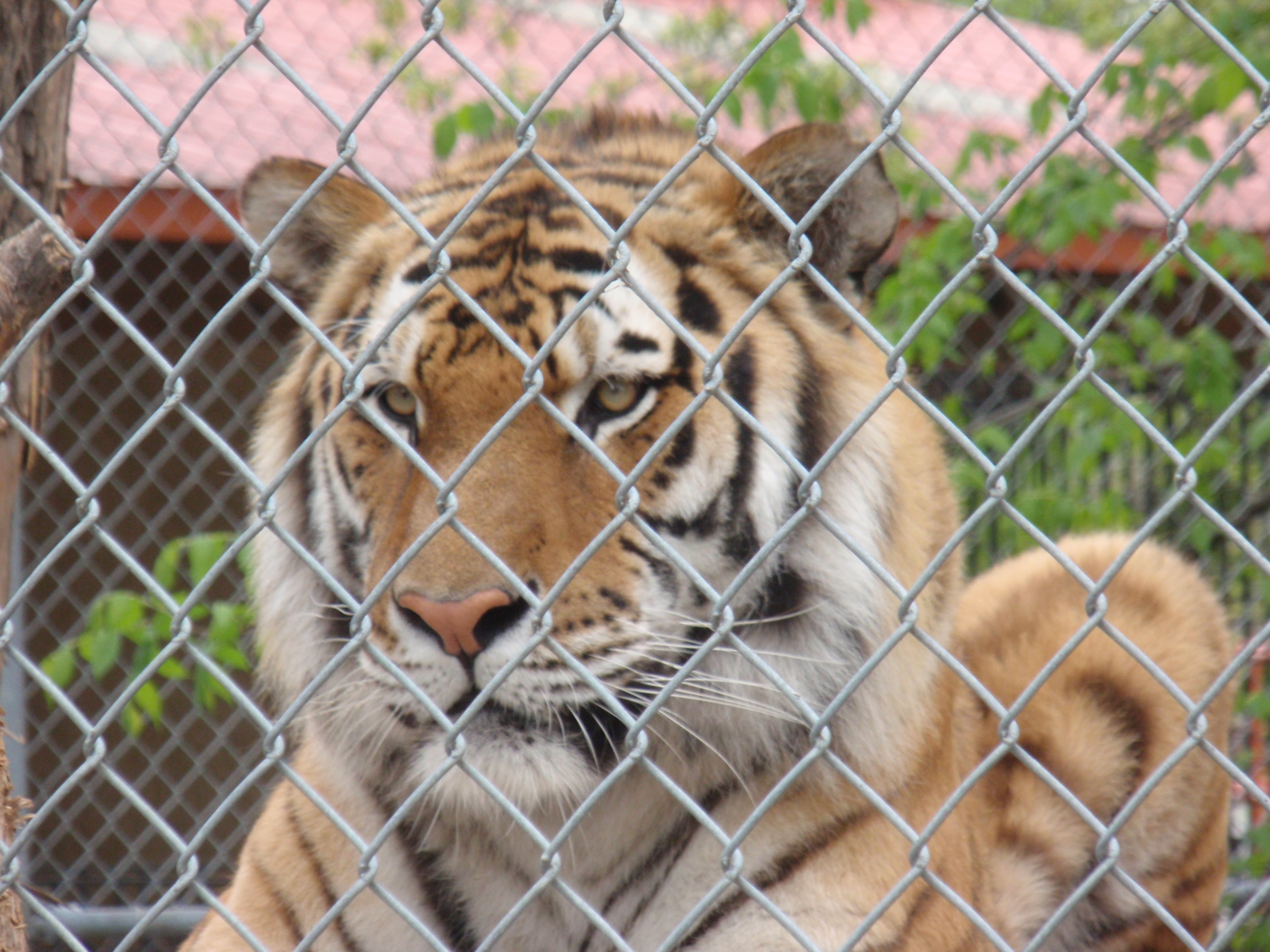 Tiger at Minot zoo. Photo by James Ulvog.