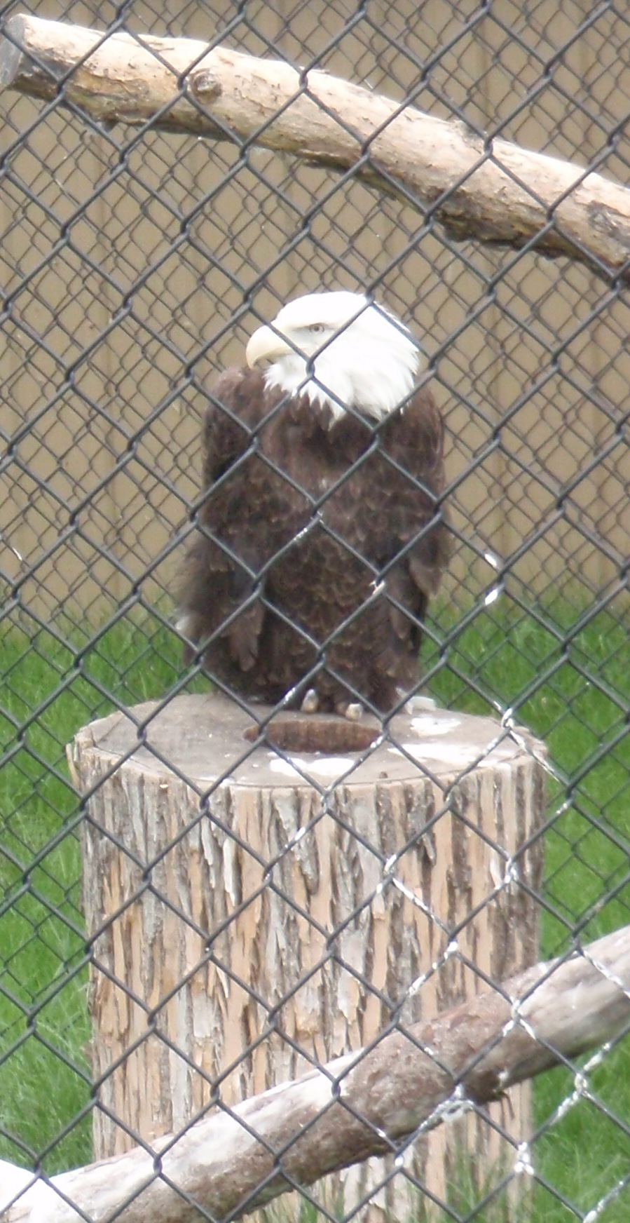 Bald eagle at Minot zoo who isn't at risk of getting chopped up by a wind turbine. Photo by James Ulvog.